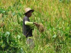 raccolgitore di riso