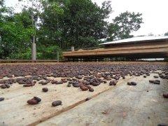 secadora de cacao