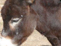 08-11-15 injured donkey