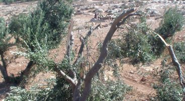 2013-08-14 Settlers damage 6 olive trees in South Hebron Hills' Humra valley