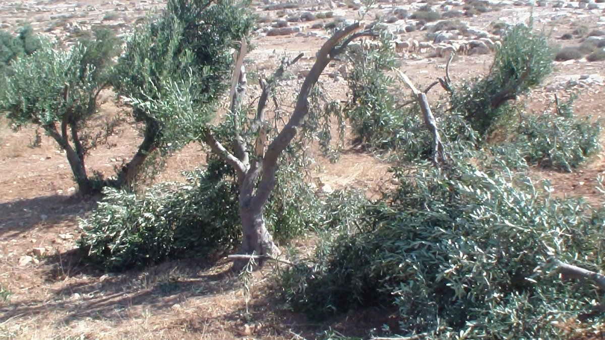Settlers damage 6 olive trees in South Hebron Hills' Humra valley
