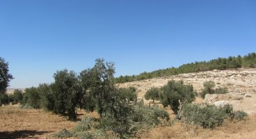 2013-09-08 Ten olive trees cut in Humra valley